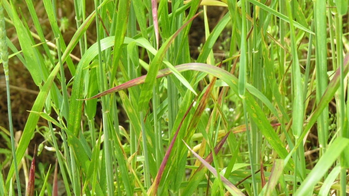 photo of barley yellow dwarf on wheat