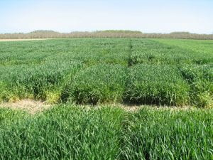 Photo of triticale trials in the Hudson Valley