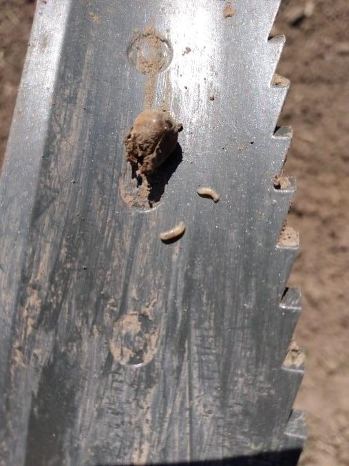 Seed corn maggot