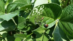 This is a photo of Japanese beetles and damage on soybean