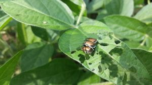 Japanese beetles and damage on soybean