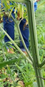 Photo of Potato leafhoppers on hemp