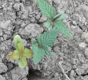 This is a photo of hemp damping off
