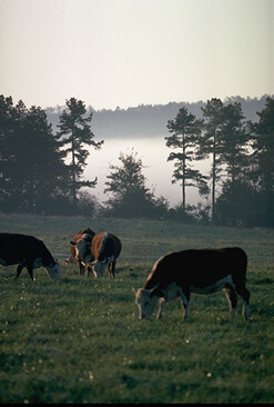 beef cattle grazing in a field