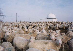 sheepobserv