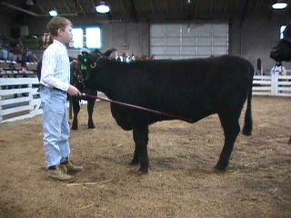 young boy showing a steer