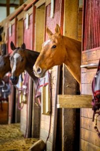 Horses with heads out of stalls