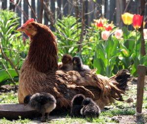 Chicken with chicks in garden