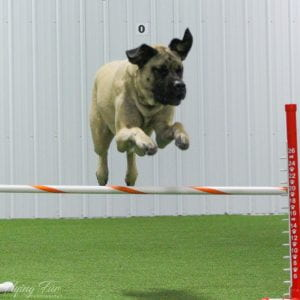 Dog going over jump