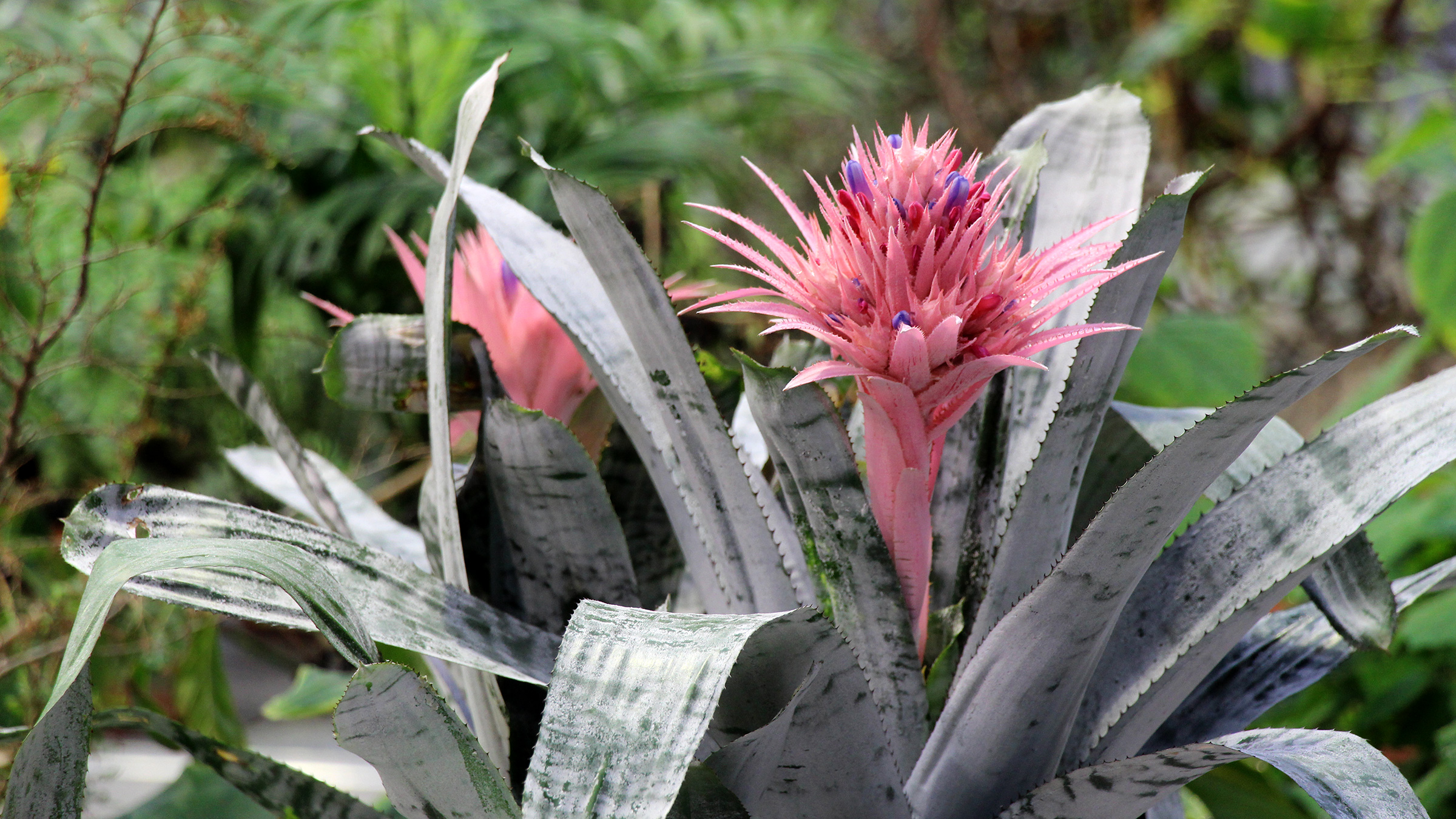 Featured plant aechmea fasciata for Aechmea fasciata