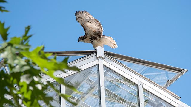 hawk on conservatory