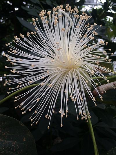 Pseudobombax ellipticum (Shaving Brush Tree)