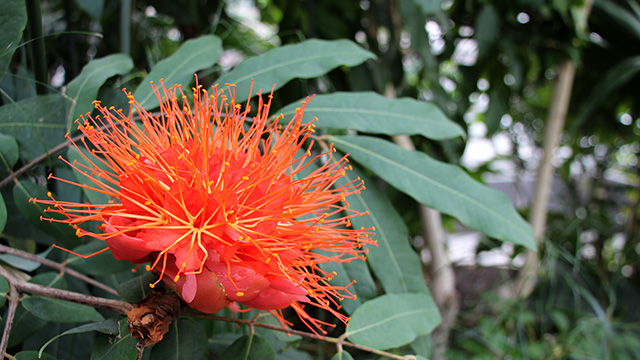 Flowering now: Brownea spp. (Panama Flame Tree, Rose of Venezuela)