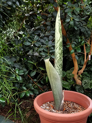 'Wee Stinky'-- one of two flowering-sized Titan arums in the Conservatory's collection -- has broken dormancy and is beginning its vegetative stage (NOT flowering) in the Palm House near the doorway to the Student House.