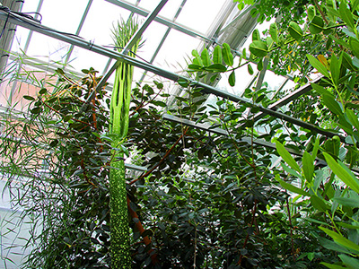 Carolus's sibling Wee Stinky approaches full leaf in the Liberty Hyde Bailey Conservatory's Palm House on July 24.