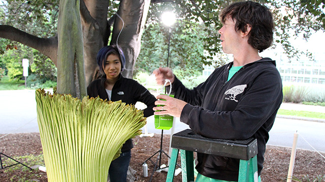 Plant Sciences major Patty Chan and CUAES greenhouse grower Paul Cooper prepare to deploy a sticky trap inside the spathe to see what carrion-loving pollinators are attracted by Carolus's scent.