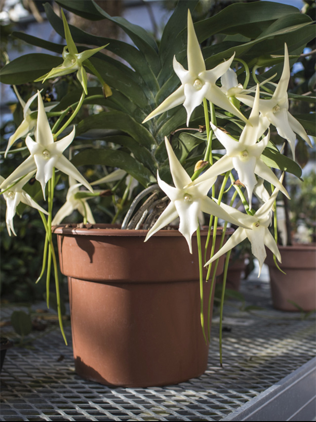 Angraecum sesquipedale, also known as Darwin's orchid, Christmas orchid, and Star of Bethlehem orchid