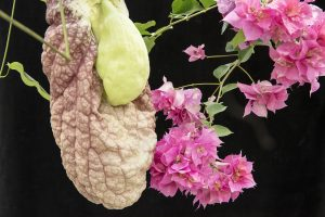 Aristolochia gigantea & Bougainvillea spectabilis