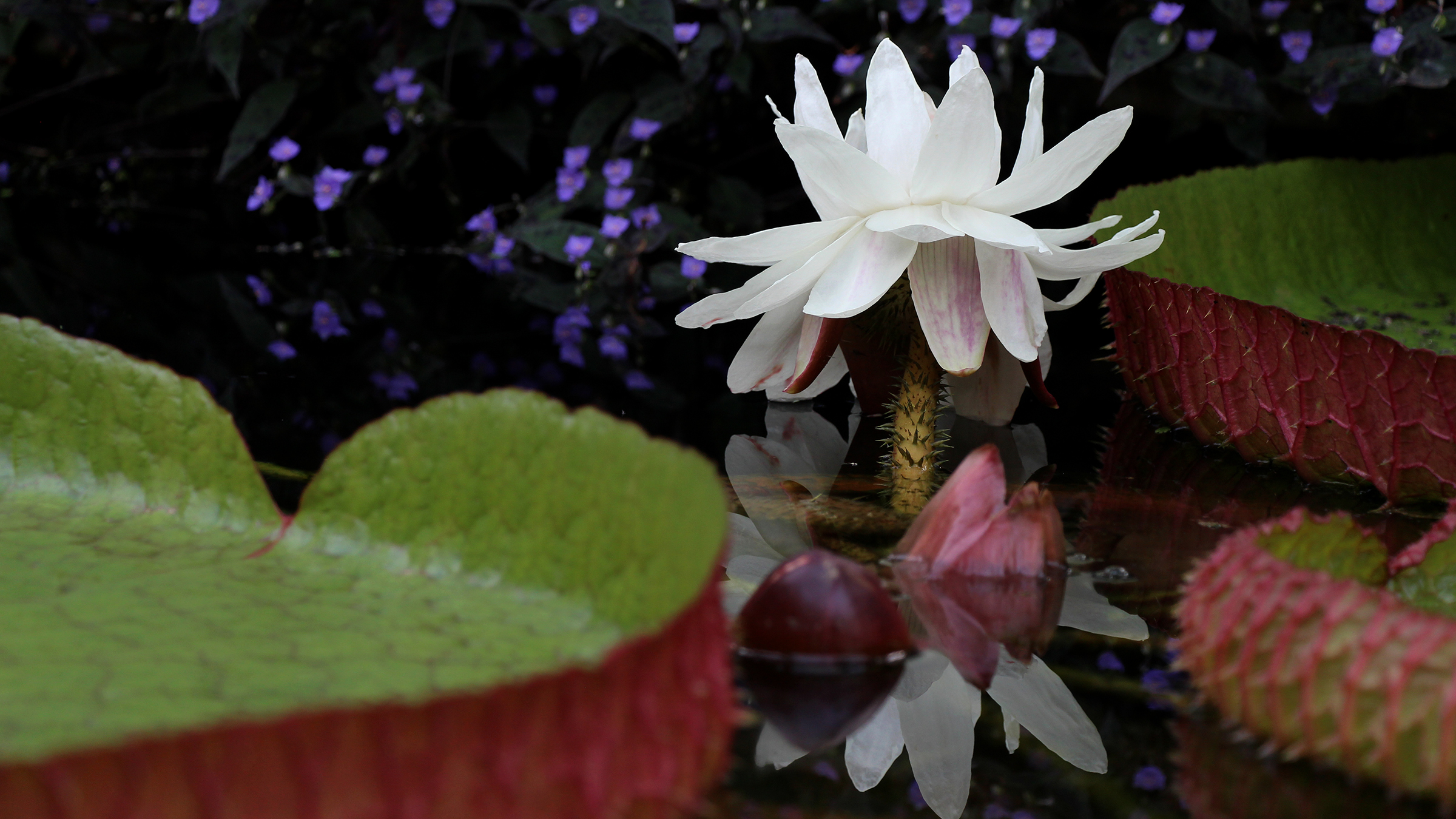 News the victoria lily in the palm house continues to pump out blooms izmirmasajfo