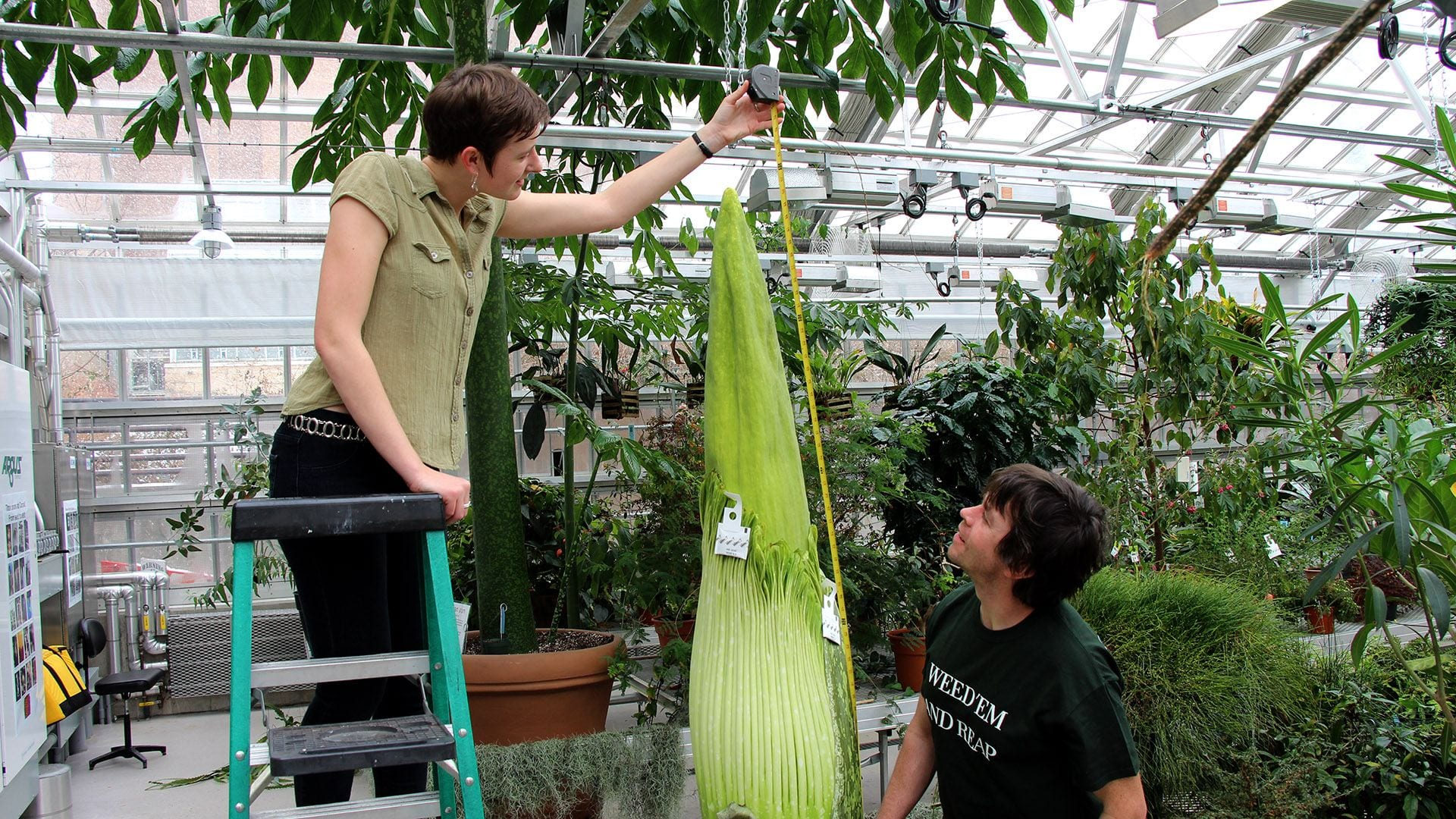 One of Cornell's two flowering-sized Titan arums — dubbed Wee Stinky for its putrid smell — is set to bloom for the fourth time. Rosemary Glos '20 and greenhouse grower Paul Cooper measure Wee Stinky Dec. 7 at the Liberty Hyde Bailey Conservatory. Photo by Craig Cramer.