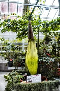 "The Titan arum Carolus is pictured in the Liberty Hyde Bailey Conservatory. Also known as a ""corpse plant"" due to its strong odor of rotting flesh, the plant is expected to bloom in the next few days."