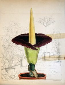 Titan arum illustration from Curtis's Botanical Magazine