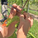 A scientist emasculating a grape flower with a pair of tweezers