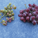 Two table grape clusters- on the left berries are green or pale pink, on the right berries are deep red
