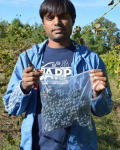 Surya Sapkota holding a bag of Norton grapes in a vineyard.
