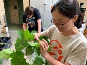 Lab members example grape leaves.