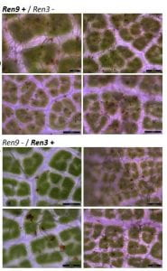 powdery mildew growth with Ren3 and Ren9 genes
