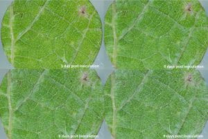 Image shows 4 leaf discs at different time points following powdery mildew inoculation.