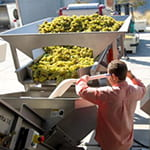 chardonnay grapes in mechanical press