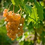 Grape cluster - Bruce's facebook live session