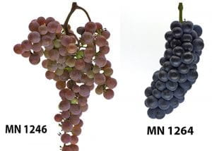 two grape clusters displaying contrasting architecture, loose clustered with shoulders and tight clustered