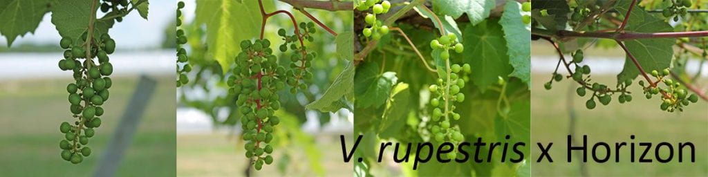 Pictures of progeny of V. rupestris x Horizon