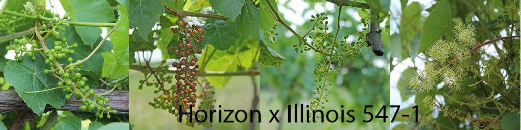 Photos of 4 sibling progeny of Horizon x Illinois 547-1