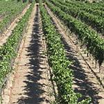 Generic California Vineyard