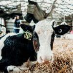 holstein dairy calf 1736