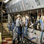 Milking employee works in the parlor