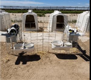 Two calves in pair housing drink from separate feeders