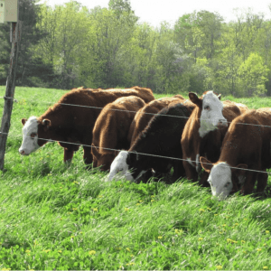 beef cattle grazing along fenceline