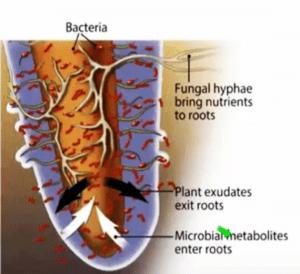 nutrient exchange processes at the rhizosphere