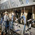 Dairy worker milking cows