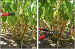 Cutting a piece of corn stalk for sampling.