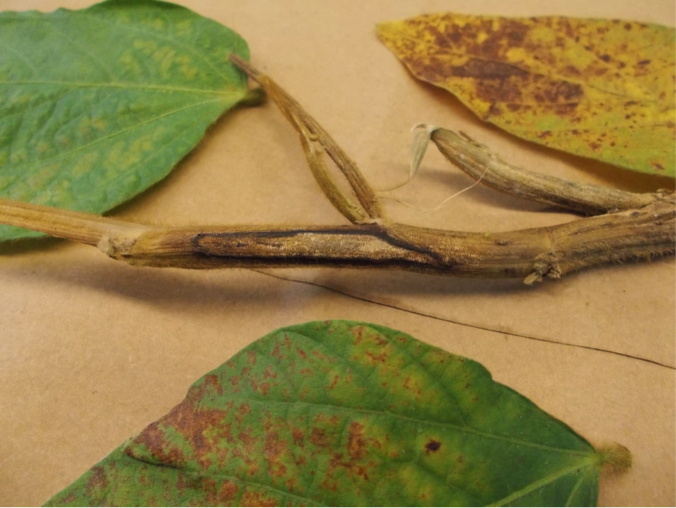 Figure 1.  Canker on stem, and inter-veinal discoloration of leaves above the canker caused by northern stem canker. Photo by Jaime Cummings.