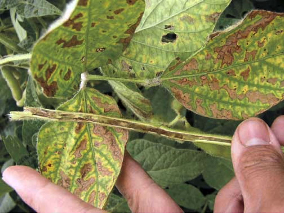 Figure 1.  Foliar symptoms and browning of internal stem tissues caused by brown stem rot.  (Photo courtesy of Iowa State University http://www.ipm.iastate.edu/ipm/icm/2006/9-18/sds.html )