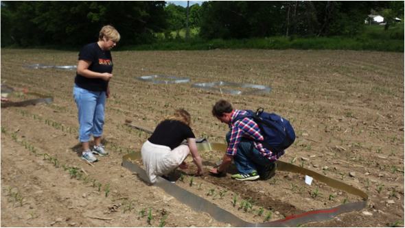 Students help set up field plots of nematodes and black cutworm, and then collected the data to compare cutworm damage in the two treatments.