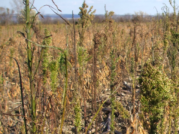 Figure 1. Horseweed that survived burndown and postemergence applications of glyphosate in no-tillage soybeans.