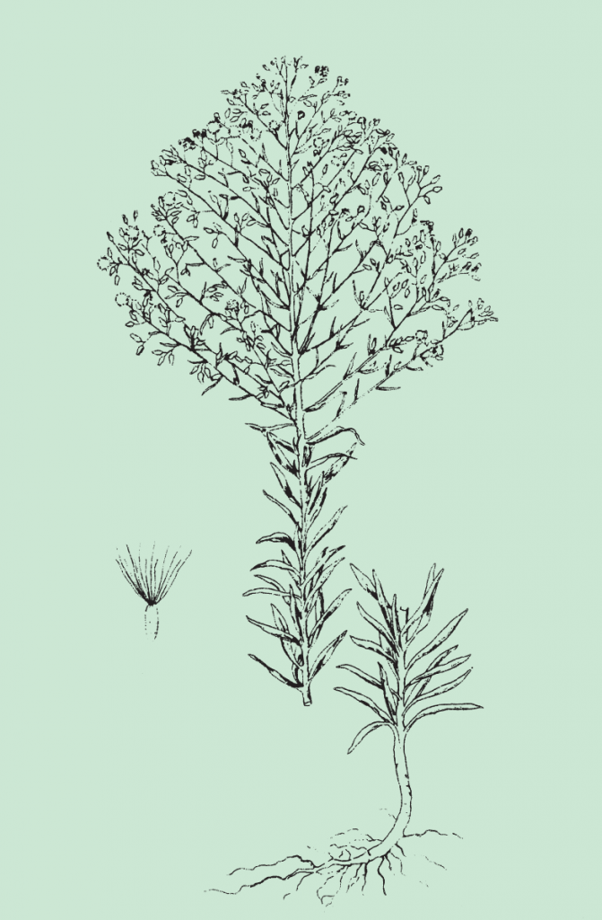 Fig. 2: Horseweed plant showing the lower part of the leafy stem, upper part of the stem with flowers, and seed with slender bristles on one end. From: Weeds of the North Central States, North Central Regional Research Publication No. 281.